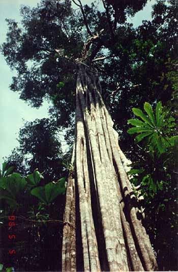 un gigantesco árbol