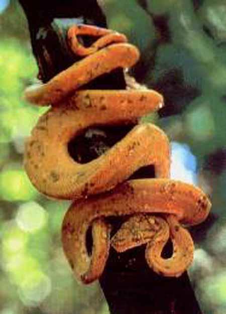 boa arborea corallus enydris