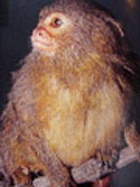 cebuella pygmaea
