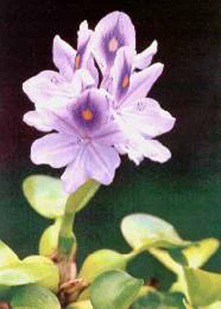 flor de jacino de agua