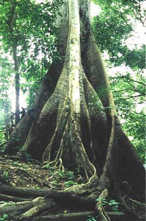 arbol amazonico