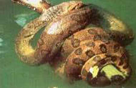 la anaconda o yacumama