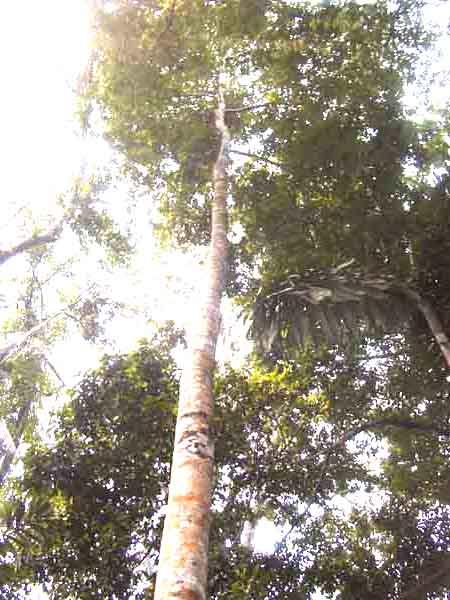árbol amazónico
