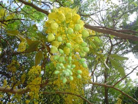 árboles florescientes embellezan Riberalta