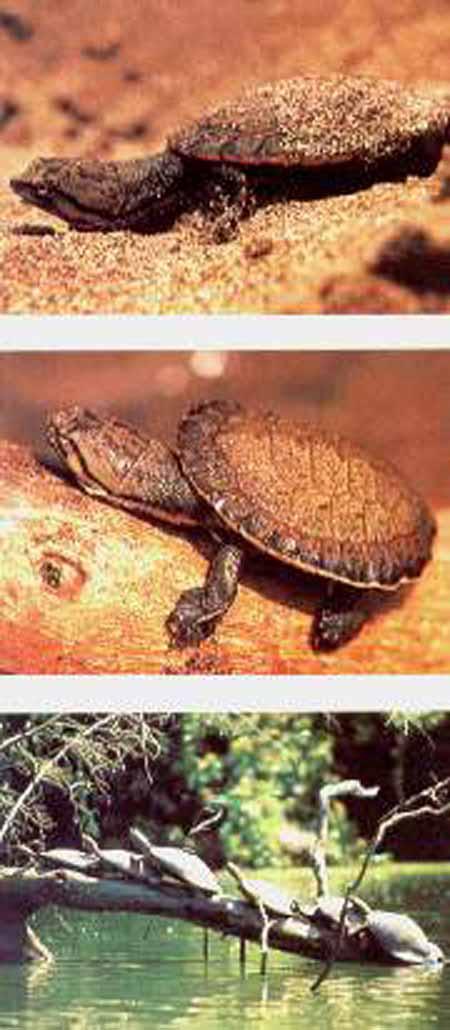tortuga charapa joven