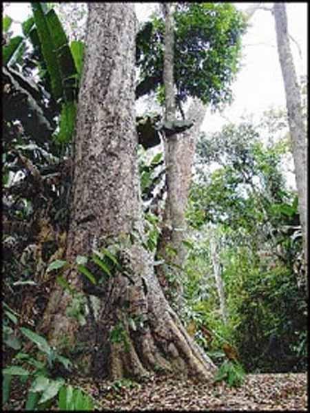 un arbol en la selva
